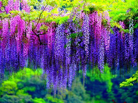 wisteria tree  pink  purple flowers wallpaper hd