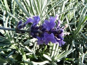 Echter Lavendel Kaufen : bodendeckerpflanzen online kaufen echter lavendel hidcote blue im p9 topf 0 5l ~ Eleganceandgraceweddings.com Haus und Dekorationen