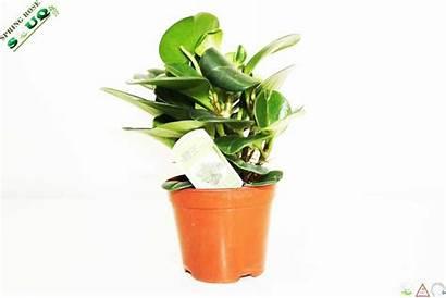 Plants Dubai Indoor Springrosesouq Souq Potted