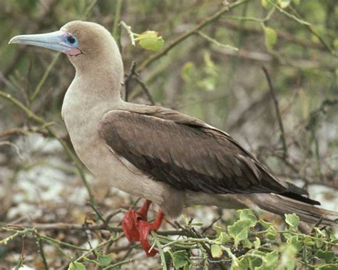 d island 002 brown footed booby audubon field guide