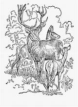 Coloring Deer Adult Stag Clipart Clipartkey sketch template