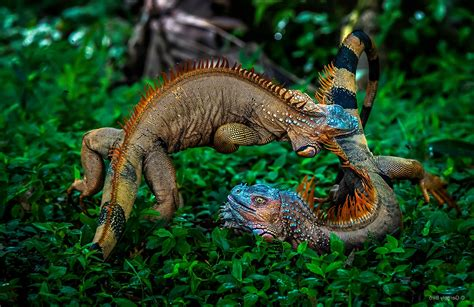 Tropical Animal Wallpaper - nature plants animals battle iguana costa rica