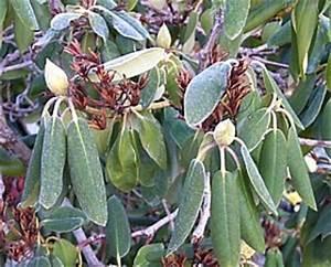 Rhododendron Eingerollte Blätter : rhododendron freiland azaleen pflanzen pflegen d ngen ~ Markanthonyermac.com Haus und Dekorationen