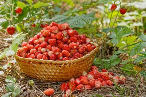 Luleshtrydhja e Egër - Fruti Alpin Magjik për Organizmin ...