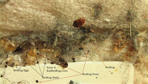 Small Flying Bugs In Bedroom Insects Resembling Bedbugs
