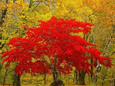 Black And White Wallpapers Red And Yellow Trees Yellow