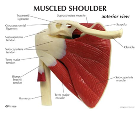 There are three main muscles in your shoulder: Shoulder Muscles Diagram Labeled - 25 best muscle_blank images on Pinterest | Muscle ... : Which ...