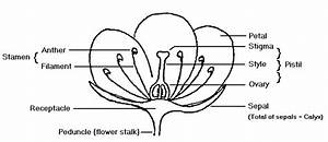 Under Student U0026 39 S Pencil   Sexual Reproduction In Plants