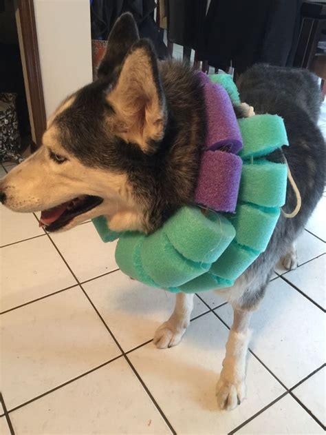 pool noodles   husky   big boy dog