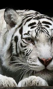 white tiger | Animals Zoo Park: White Tiger Wallpapers for ...