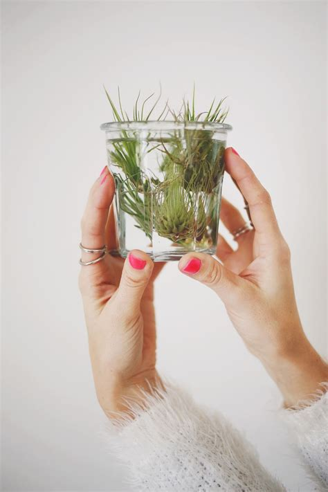 how to care for plant how to care for air plants