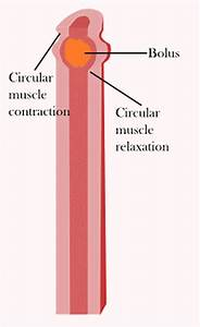 Peristalsis Function  Where Peristalsis Occurs