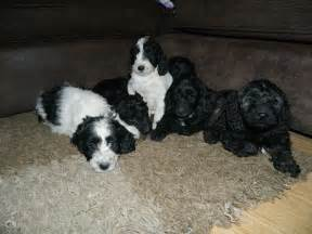 Black and White Cockapoo Puppies