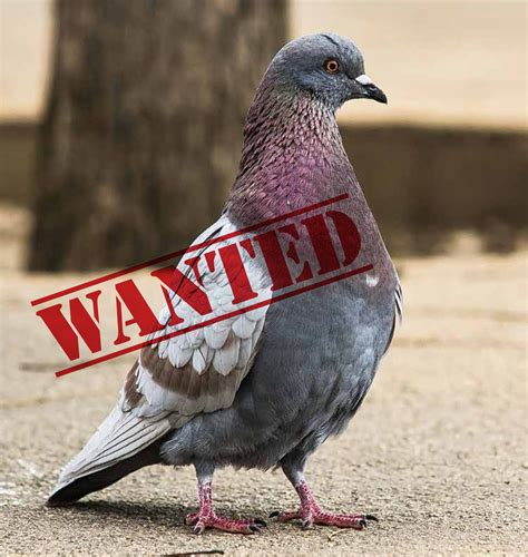 pigeon control the bird chronicles part 2 debugged