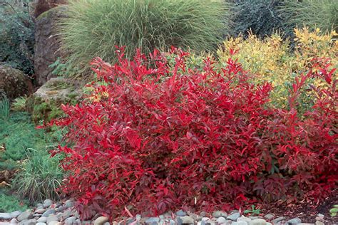 Itea virginica 'Henrys Garnet' | Landscape Plants | Oregon ...