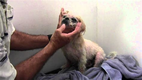 shih tzu skin allergy eye care diet youtube