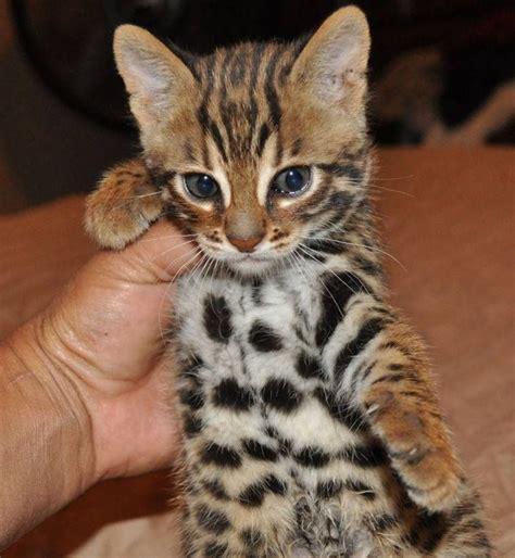bengal kitten  weeks  cats  kittens cats