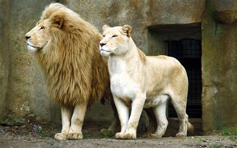 lion fond decran hd arriere plan  id