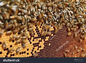 Honey Bees On Honeycomb Stock Photo 235117444   Shutterstock