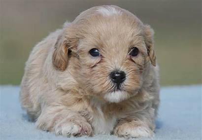 Moodle Puppies Puppy Chevromist Kennels