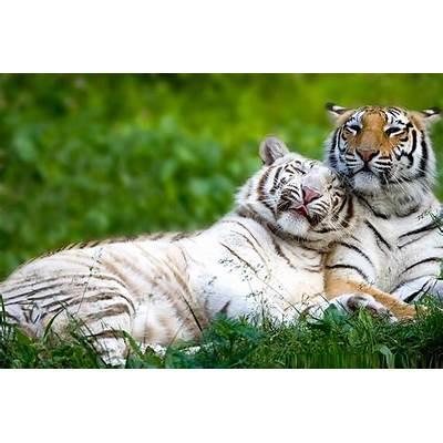 Bengal Tiger - Facts Pictures Habitat Information Diet