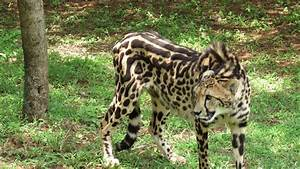 File:King Cheetah.jpg - Wikimedia Commons