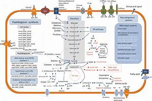 Overview Of The Basic Metabolic Pathways Of E