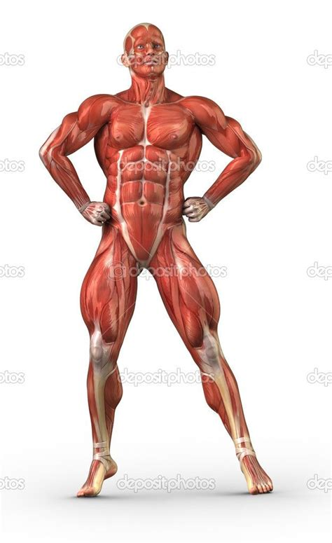 Human Diagram Unlabeled by Human Muscular System Diagram Unlabeled Search