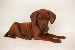 rhodesian ridgeback history and health temperament personality breeds picture