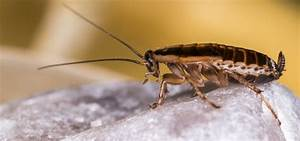 Können Kakerlaken Fliegen : 10 skurrile fakten ber kakerlaken mausklick ~ Watch28wear.com Haus und Dekorationen