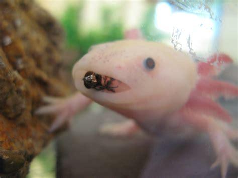 thewildlifekidsblog axolotls  amazing