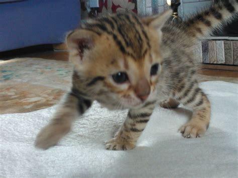 Beautiful Bengal Kittens For Sale  Preston, Lancashire