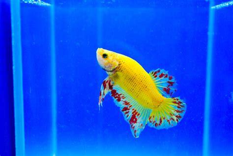 aggressive freshwater fish