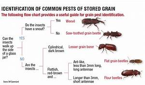 Identifying Insect Pests In Stored Grain  U2013 The Beatsheet