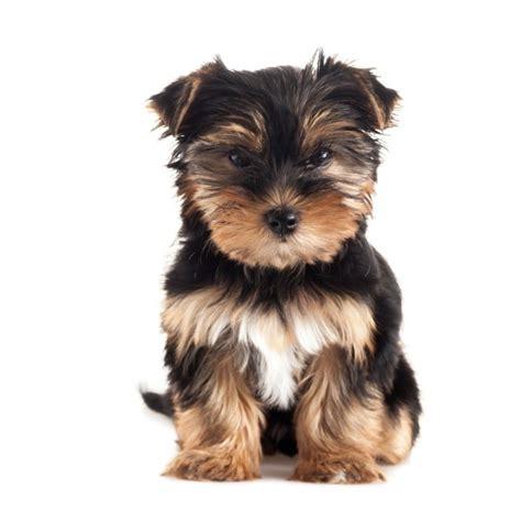 pelnoporcjowa sucha karma royal canin yorkshire terrier
