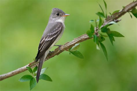 where to get wood eastern wood pewee audubon field guide