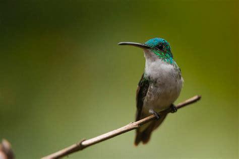 hummingbirds of mindo ecuador ever in transit