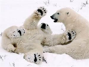 polar bear cubs playing 082809