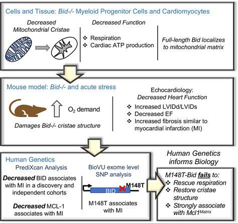Bid Bid Bid Maintains Mitochondrial Cristae Structure And Function