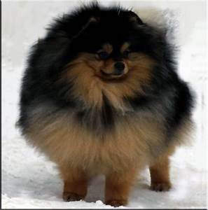 Dark Brown Pomeranian Puppy | www.imgkid.com - The Image ...