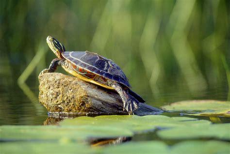 aquatic turtles keeping aquatic turtles in outdoor ponds