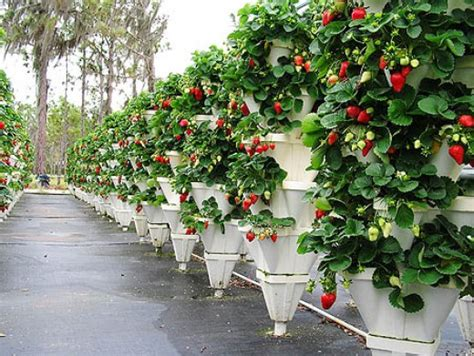 Vertical Gardening Strawberries by Who Does Vertical Gardening Gardening Forums