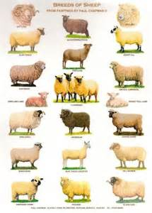Sheep Breeds Animal Posters