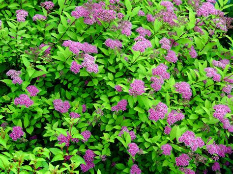 spirea shrub pictures spirea tlc shoptlc shop