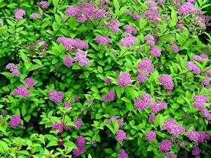 Of Spirea Plant