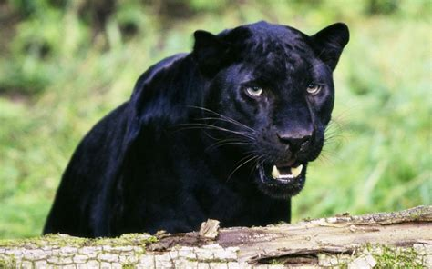Black Jaguar Animal Hd Wallpapers - black jaguar animal wallpaper hd