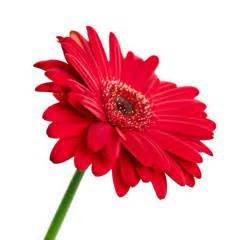 orchids care gerberas online gerbera flower guide flowers for everyone