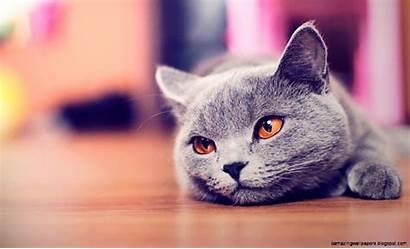 Cat Cool Wallpapers Desktop Burmese Cats Kitty