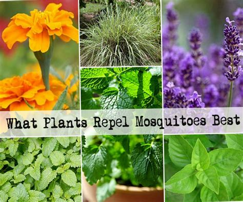 plants that mosquitoes 7 plants that repel mosquitoes naturally from home