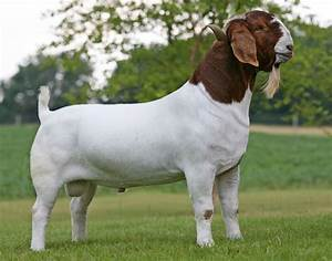 Able Acres Boer Goats - Boer Goats for sale